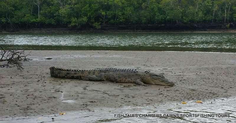 Estuarine Crocodile 3 metres