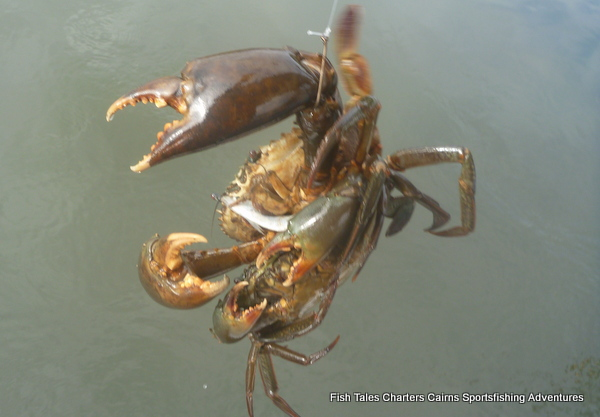 Giant Mud Crab aka Muddie